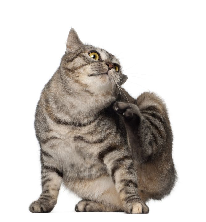 Flea Medications for Cats: What Is The Best!